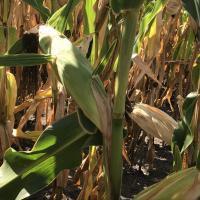гибрид кукурузы ДН Рута купить семена