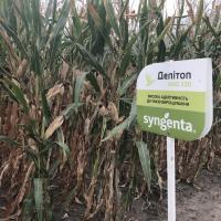 кукуруза гибрид Делитоп в Украине