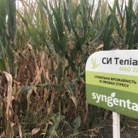 кукуруза гибрид СИ Телиас в Украине