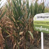кукурудза гібрид СІ Фортаго в Україні