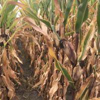 кукурудза гібрид СІ Ариосо купити насіння