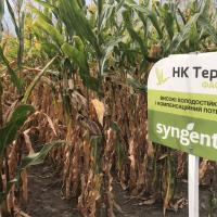 кукуруза гибрид НК Термо купить семена