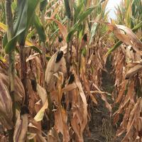кукуруза гибрид НК Термо в Украине