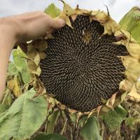 Насіння соняшника НС Авалон (НС 6046) від Агроэксперт-Трейд