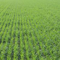 Американський ячмінь, насіння американського ячменю, ячмінь Канзас-237