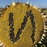 Семена Подсолнечника Имисан НС от Агроэксперт-Трейд