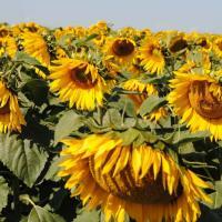 Соняшник гібрид Імпакт купити насіння