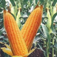 Посівна кукурудза насіння гібрид Кадр 267 опис характеристика ціна купити в Україні