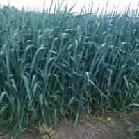Канадська пшениця поле