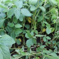 канадська соя насіння поле венус в Україні