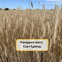 Насіння жита озимого Едіонд купити в Україні