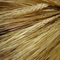 Посівний ярий пивоварний ячмінь насіння сорт Кангу опис характеристика ціна купити в Україні