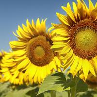 Соняшник гібрид Карлос 115 купити насіння