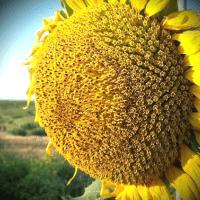 Насіння соняшнику Кастилія