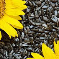 Семена подсолнечника Княжий
