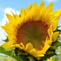 Соняшник гібрид Кобальт 2 купити насіння