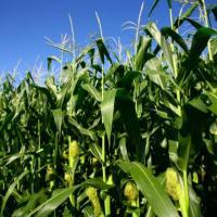 Гибрид кукурузы Кодивал купить в Украине