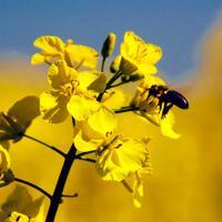 Семена рапса Коррел купить в Украине