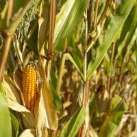 Гібрид кукурудзи СІ Энермакс купити насіння