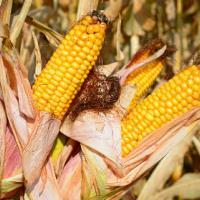 кукуруза гибрид гран 220