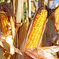 кукурудза гібрид гран 6 фото