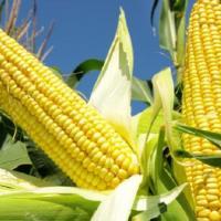 кукурудза гібрид СІ Зефір в Україні
