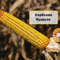 сербская кукуруза НС 2652