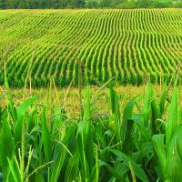 Кукуруза СИ Орфей купить в Украине