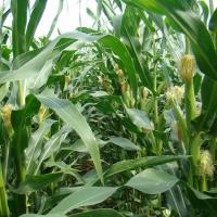 кукурудза гібрид НК Джитаго купити насіння