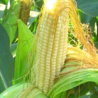 Кукуруза СИ Скорпиу описание гибрида