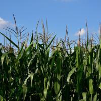 Кукуруза СИ Алдария купить семена