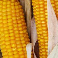 кукурудза гібрид тесла фото