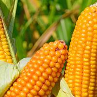 кукурудза гібрид вн 6763 фото