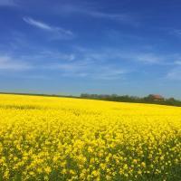 Насіння ріпаку Лексер купити в Україні, опис гібрида, відгуки, ціна, доставка