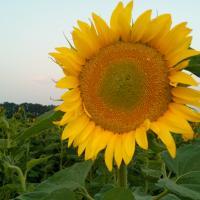 Семена Подсолнечника Лимит от Агроэксперт-Трейд