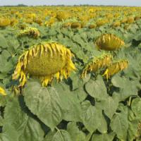 Посівний соняшник соняшник насіння гібрид Логос (F1) фракція 3,6 опис характеристика ціна купити в Україні