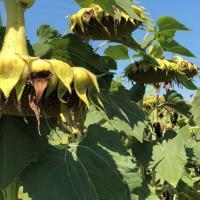 Семена Подсолнечника Любаш-Н от Агроэксперт-Трейд