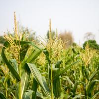 кукуруза гибрид Маc 12.Р семена