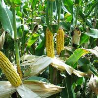 кукурудза гібрид Mas 18.L насіння
