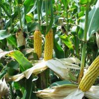 кукурудза гібрид Mas 20.F насіння
