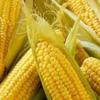 кукурудза гібрид Mas 20.A насіння