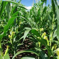 кукуруза гибрид Mas 25.F семена