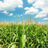 кукуруза гибрид Mas 30.M семена