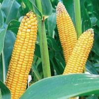 кукурудза гібрид Mas 33.A насіння