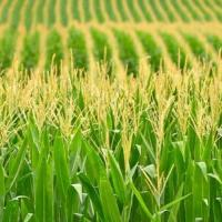 кукурудза гібрид Mas 44.A насіння