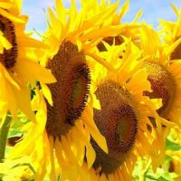 Насіння соняшнику Mas 81.C купити
