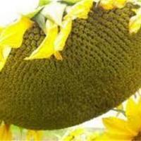 Семена подсолнечника Mas 82.A купить