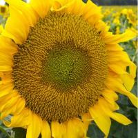 Насіння соняшнику Mas 83.OL купити