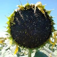 Семена подсолнечника Mas 83.R купить