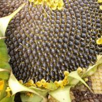 Семена подсолнечника Mas 85.SU купить